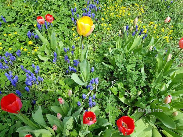 Blühende Blumenwiese mit Tulpen, Traubenhyazinthen