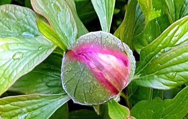 rosa Blütenknospe einer Pfingstrose