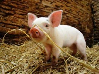 Film: Die fabelhafte Welt der Schweine