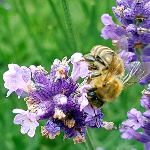 Biene saugt an der Lavendelblüte
