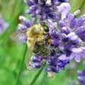 Biene mit Pollen an der Lavendelblüte