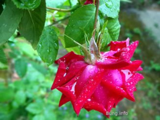 rote Rose nach dem Regenschauer