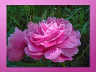 Rosa Pfingstrose Blüte
