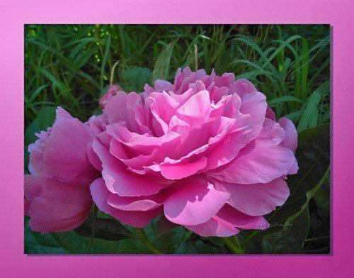 Rosen oder Pfingstrosen? Rosa Pfingstrose Blüte