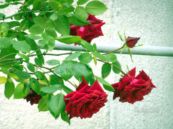 rote Rosen Blüten