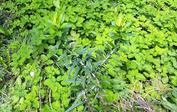 Grün in Grün - Giersch und Astern