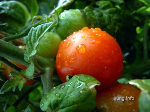 Tomatenpflanze bei Regen