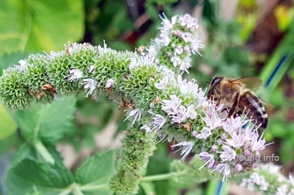 Biene klettert auf einem Blütenstrang