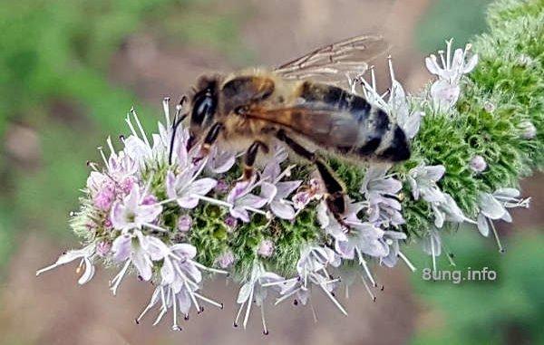 Biene auf Minzblüte