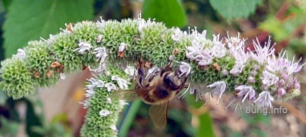 Biene unter einem Blütenstrang