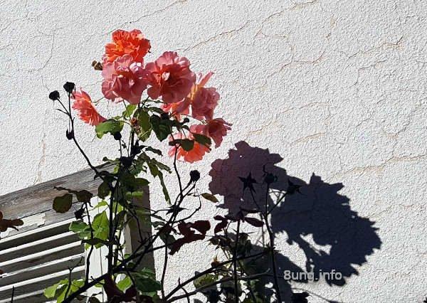 Rosen vor weißer Mauer wirft ihren Schatten