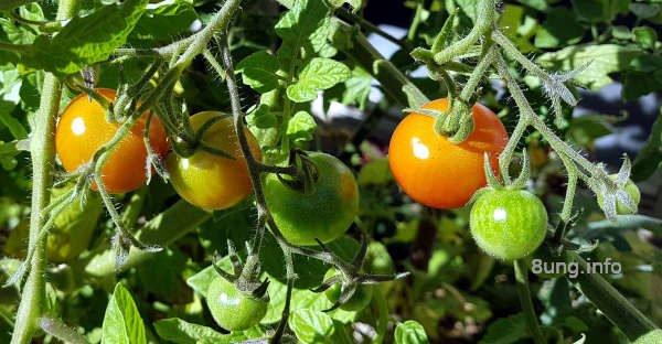 Rote und grüne Tomaten reifen am Strauch