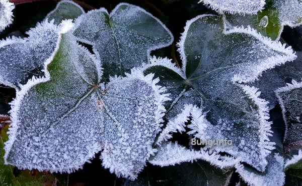 Wetterprognose Oktober 2020: Efeublätter mit Raureif