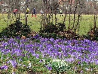 Erste Krokusse und Schneglöckchen blühen