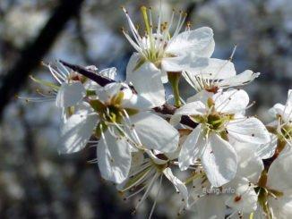 Wetterprognose März 2020 – Schlehenkälte? Schlehenblüten mit Dorn