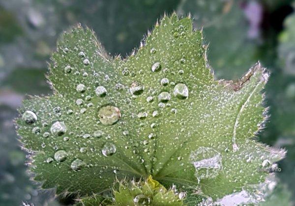 Eisheiligen-Wetter: Regentropfen auf dem Frauenmantelblatt