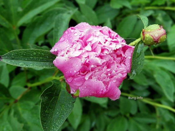 Eisheiligen-Wetter: Regentropfen auf der rosa Pflingstrosenblüte