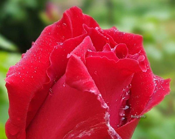 Eisheiligen-Wetter: Regentropfen auf der roten Rosenblüte