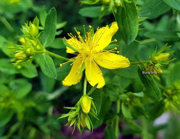 Blühendes Heilkraut im Sommer: Johanniskraut, gelbe Blüte
