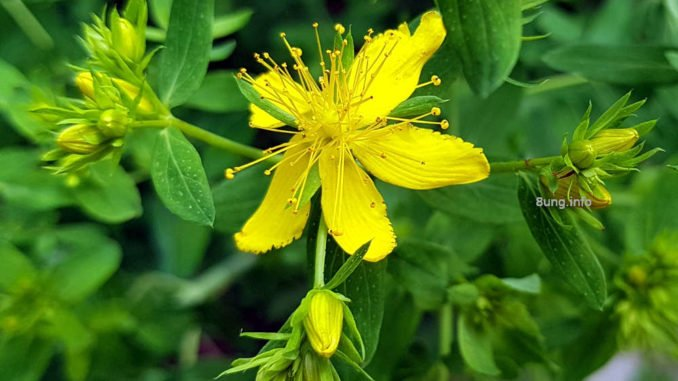 Johanniskraut Blüte