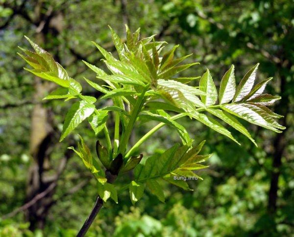 Wetterregel Esche Eiche - Eschenblätter