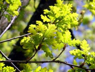 Wetterregel Esche Eiche Eichenblätter