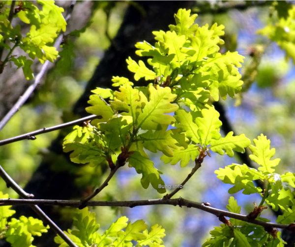 Wetterregel Esche Eiche - Eichenblätter