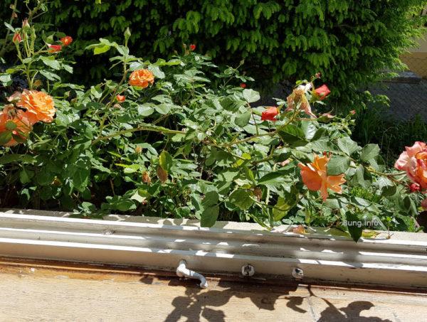 Rosen im Wonnemonat Mai - Rosen vor dem Küchenfenster