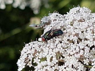 Fliege auf der Doldenblüte