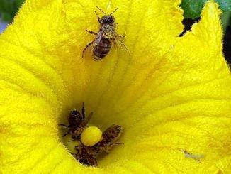Bienen in der Zucchiniblüte