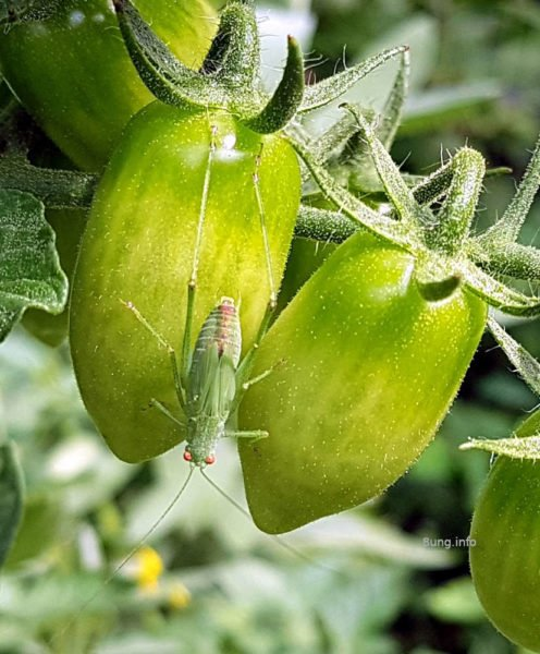 Grüner Grashüpfer auf grünen Oliventomaten