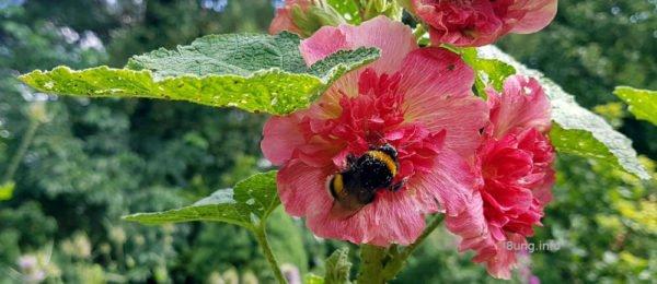 Blüte der Stockrose mit Hummel