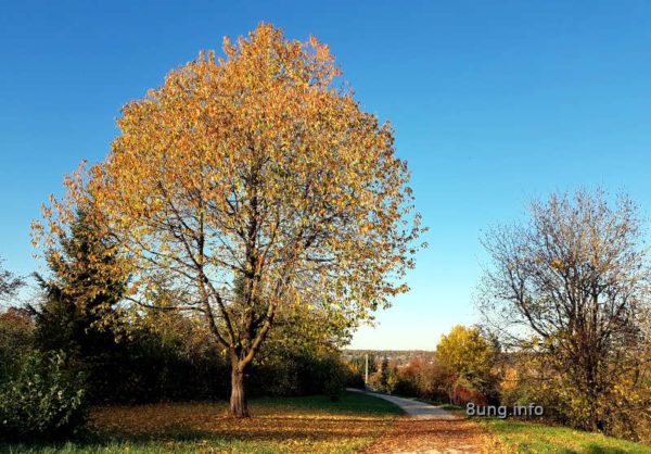 Baumriese mit Herbstlaub