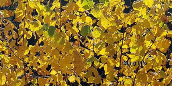 Goldene Blätter im Gegenlicht