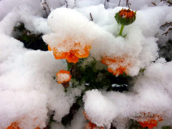 Schnee auf Herbstblumen