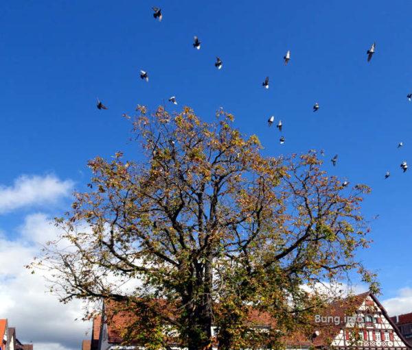 Vogelschwarm über einem Baum m Herbst