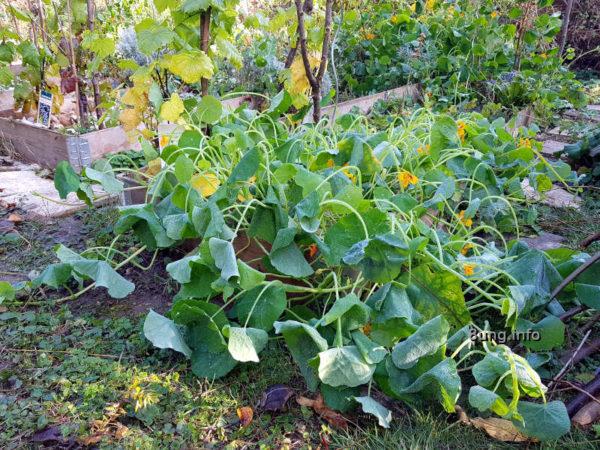 Garten im Herbst: abgefrorene Kapuzinerkresse