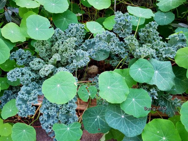 Garten im November - Kapuzinerkresse umrahmt den Grünkohl