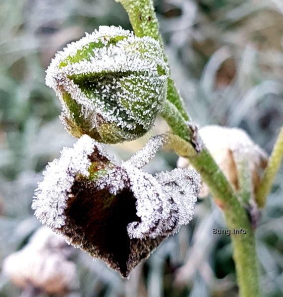 Garten im November - Eiskristalle auf Knospe und Blatt der Stockrose