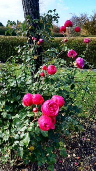 böühende Rosen im Herbst