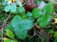 Wetter im Januar: Regen auf Akelei, wilder Erdbeere und Moos