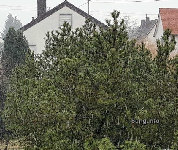 Schneeregen vor einer Kiefer