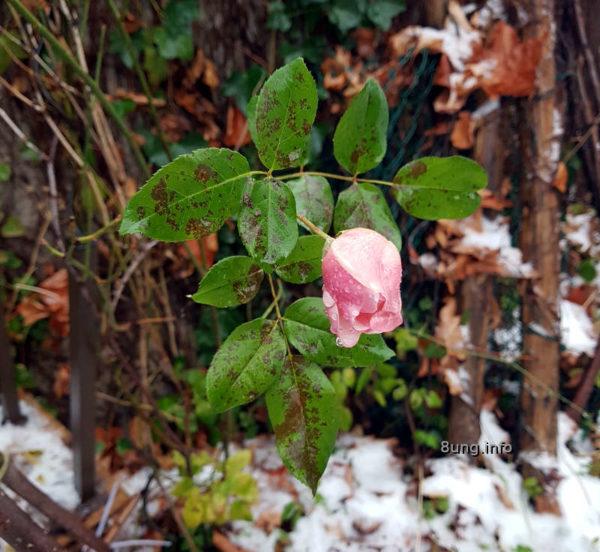 Letzte Rose im Schnee