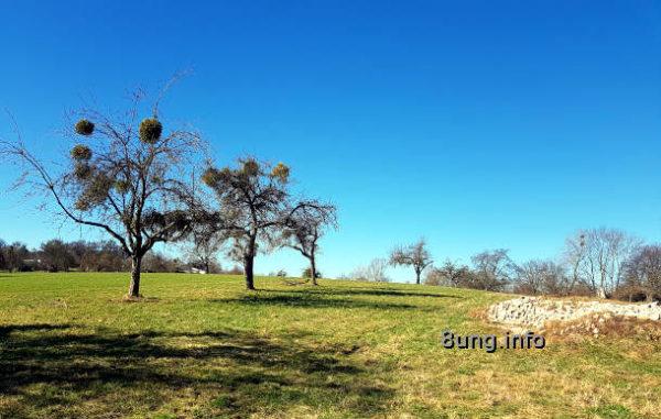 Bäume mit Misteln, Steinhaufen, blauer Himmel