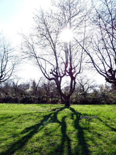 Baum im April im Gegenlicht