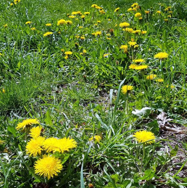 Wetter im April 2021 - Blühender Löwenzahn auf der grünen Wiese