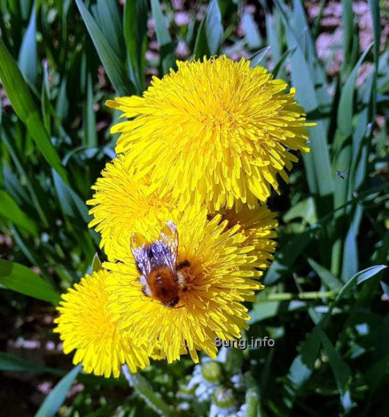 Löwenzahnblüten mit Biene