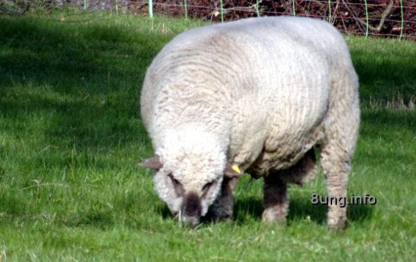 Schlehenkälte - Schaf mit dicker Wolle