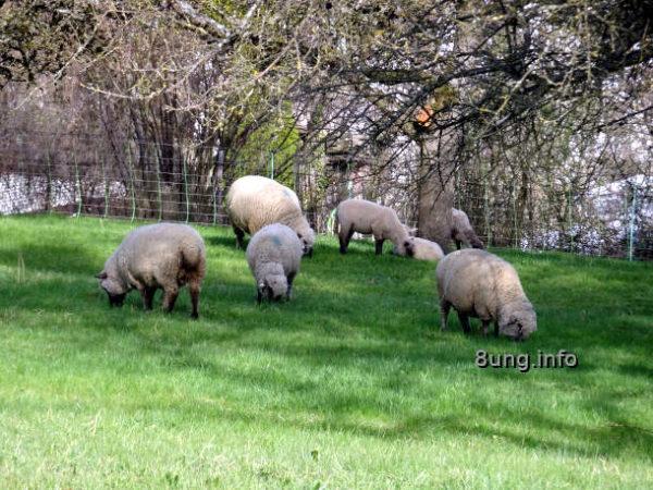 Schlehenkälte - Schafe auf der Weide