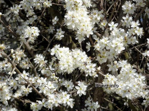 Wetter im April 2021 - Schlehenblüte